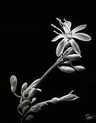 Spider Flower Framed Prints - Spider Plant in Black and White Framed Print by Endre Balogh