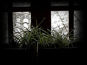 Backlit Prints - Spider Plant In Shadow Print by Al Bourassa