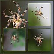 Fauna Mixed Media Metal Prints - Spider Metal Print by Rosi Lorz