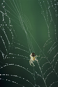 Dew Covered Posters - Spider Spinning Its Web Poster by David Aubrey