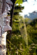 Birch Trees Art - Spider Web in Morning Light by Michelle Calkins