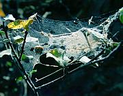 Sticky Framed Prints - Spider Web  Framed Print by Peter Piatt