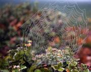 Spider-man Prints - Spider Web With Dew Print by Natural Selection Craig Tuttle