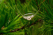 Pine Needles Photos - Spider Webs and Diamond Rings 10 by Douglas Barnett