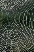 Color Stretching Posters - Spiders web drops of dew at dawn Poster by Sami Sarkis