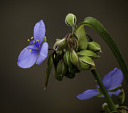 Spiderwort Posters - Spiderwort 3 Poster by Thomas Young