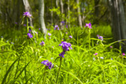 Texas Wild Flowers Prints - Spiderwort Blooms At Mckinney Roughs Print by Mark Weaver