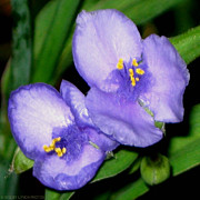 Naturalist Digital Art Posters - Spiderwort Twin Rapture Poster by Terry Lynch