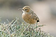 Northern Africa Prints - Spike-heeled Lark Print by Peter Chadwick