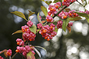Spindle Prints - Spindle (euonymus Europaeus) Print by Dr Keith Wheeler