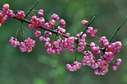 Spindle Posters - Spindle (euonymus Sp.) Berries Poster by Colin Varndell
