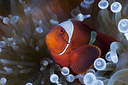 Red Sea Anemonefish Posters - Spine-cheek Anemonefish On Bulb Poster by Reinhard Dirscherl