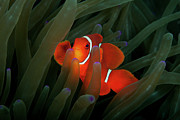 Sea Anemone Posters - Spinecheek Anemonefish Poster by Alastair Pollock Photography