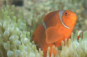 Osteichthyes Photos - Spinecheek Anemonefish In Anemone by Steve Jones