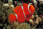 Anemonefish Prints - Spinecheek Clownfish Print by Dave Fleetham - Printscapes