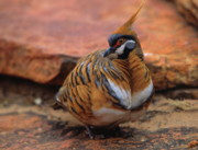 Dove Photo Posters - Spinifex Pigeon Poster by Bruce J Robinson
