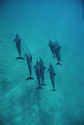Featured Art - Spinner Dolphin Group Underwater Bahamas by Flip Nicklin
