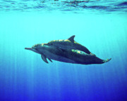 Dolphin Posters - Spinner Dolphin with Baby Poster by Bette Phelan