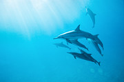 Spinner Dolphin Posters - Spinner Dolphins In Early Morning Light Blue Sea Poster by Monica and Michael Sweet