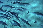 Islands Prints - Spinner Dolphins Print by Monica and Michael Sweet