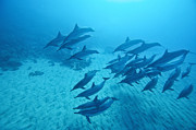 Spinner Dolphin Posters - Spinner Dolphins Morning Light Poster by Monica and Michael Sweet