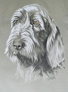 Purebred Drawings - Spinone Italiano by Barbara Keith