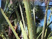 Palmetto Plants Photos - Spiny Beauty by Amy Nichter