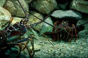 Lobsters Photos - Spiny Lobsters Panulirus Sp. Confront by George Grall