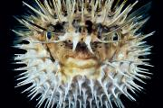 Puffer Photo Framed Prints - Spiny Puffer Framed Print by Dave Fleetham - Printscapes