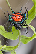 Defending Metal Prints - Spinybacked Orbweaver Spider Solomon Metal Print by Piotr Naskrecki