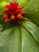 Phoenix Flowers Photos - Spiral Ginger by Heiko Koehrer-Wagner