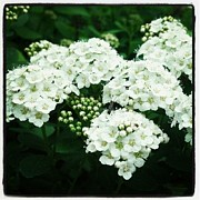 Spirea Posters - Spirea Blooms Poster by Christy Bruna