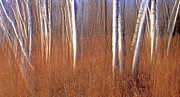 Abstract Impressionism Photo Prints - Spirit Birch Print by Bill Morgenstern