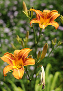 Hemerocallis Framed Prints - Spirit of Summer Framed Print by Luke Moore