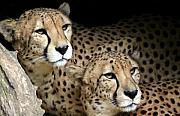 Cheetah Photos - Spirits by Mitch Cat