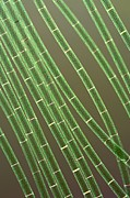 Spirogyra Algae, Light Micrograph Print by Jerzy Gubernator