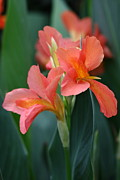 Canna Photos - Splash of Orange by Paul Slebodnick