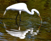 Egret Photo Prints - Splash Reflection Print by Emily Stauring