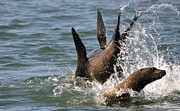 Sea Lions Prints - Splashdown Print by Fraida Gutovich
