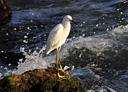 Egretta Thula Photos - Splashing around by David Lee Thompson
