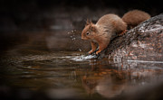 Behaviour Prints - Splashing Red Squirrel Print by Andy Astbury