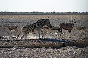 Springbok Posters - Splashing Zebra Namibia Poster by David Kleinsasser