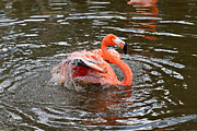Pink Flamingo - Splashy Splash by Carmen Del Valle