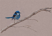 Wren Drawings - Splendid Fairy Wren by Catherine Gabriel