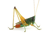 Featured Acrylic Prints - Splendid Meadow Katydid Costa Rica Acrylic Print by Piotr Naskrecki