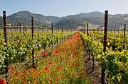 Grapevines Posters - Splendor in the Vineyard Poster by Kent Sorensen