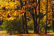 Forest Light Photos - Splendor of Autumn. Maples In Golden Dresses by Jenny Rainbow