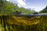 American Alligator Prints - Split Level View Of An American Print by Todd Winner