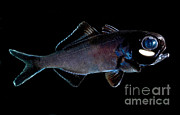 Flashlight Framed Prints - Splitfin Flashlight Fish Framed Print by Danté Fenolio