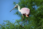 Spoonbill Photos - Spoonbill In A Tree by Deborah Benoit